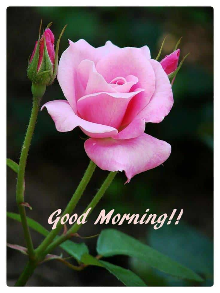 Good Morning beautiful Flowers images
